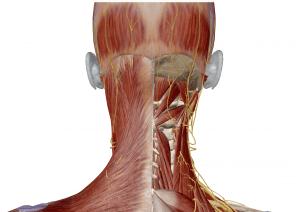 頭の筋肉の画像